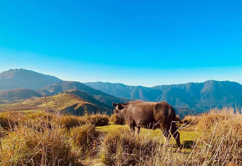 陽明山野化水牛因營養不良,從去年至今已死亡38頭,關心水牛的民眾及學者不斷疾呼陽明山國家公園管理處將流刺鐵網拆除,使水牛得以自由活動四處覓食。(讀者王巡牛提供)