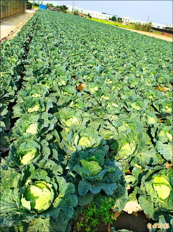 寒害造成高麗菜價升,帶動整體菜價上漲。(記者陳文嬋攝)