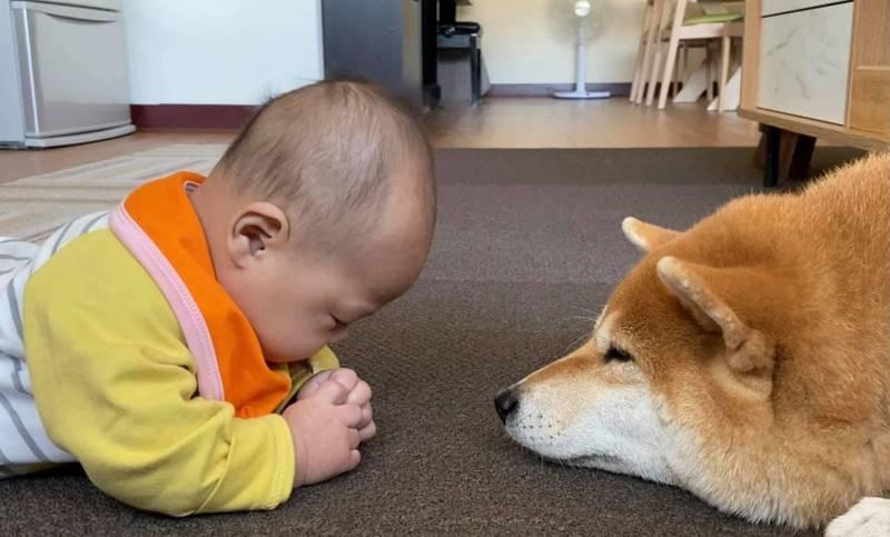 傲嬌柴犬碰上嬰兒秒變超溫柔 「稱職狗保母」這舉動暖哭網友