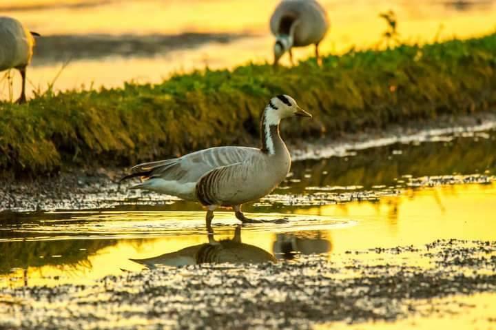 斑頭雁近日首次登台,圖中地點為礁溪時潮村。(賴姓鳥友提供)