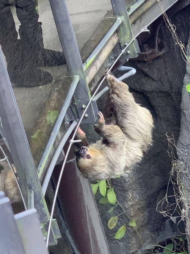 台北市立動物園熱帶雨林區樹懶翻上空橋與遊客「0距離接觸」,動物園表示是因為昨天出太陽,活動範圍變大。(讀者提供)