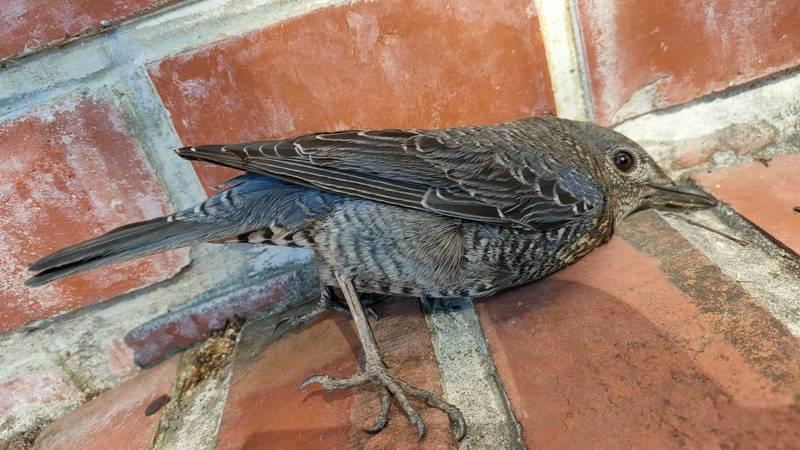 誤撞玻璃的藍磯鶇幸好休息不久即恢復體力繼續高飛。(民眾提供)