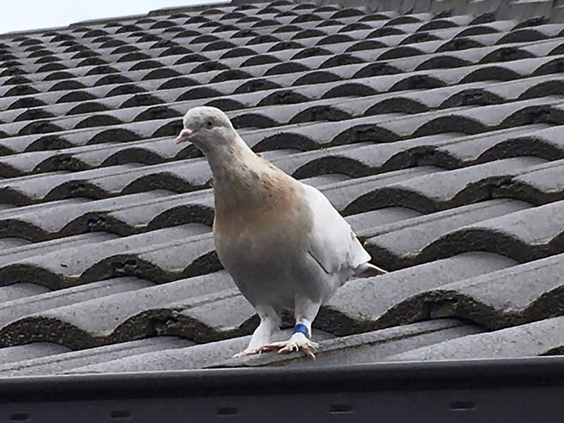 美國一隻賽鴿經歷1萬3000公里路程,橫越太平洋後倖存下來,在澳洲找到新家,沒想到,因為澳洲政府認為有檢疫風險,下令將牠處死。(美聯社)