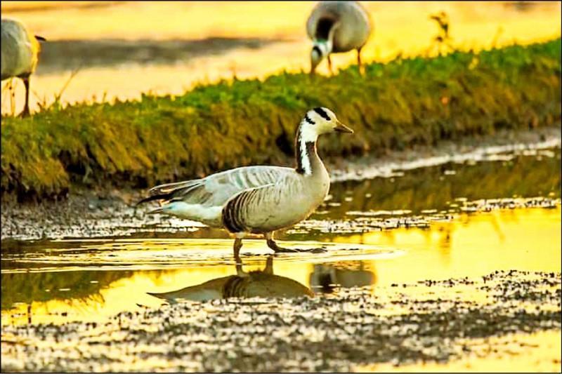 斑頭雁近日首次登台,圖中地點為宜蘭礁溪時潮村。(賴姓鳥友提供)