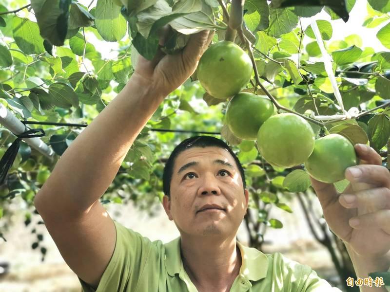農曆年將屆,關廟蜜棗開始採收。(記者吳俊鋒攝)