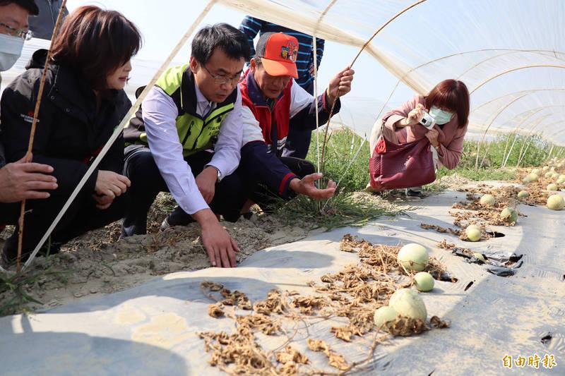 農委會主委陳吉仲(左三)勘查北門洋香瓜因病蟲害枯死。(記者楊金城攝)