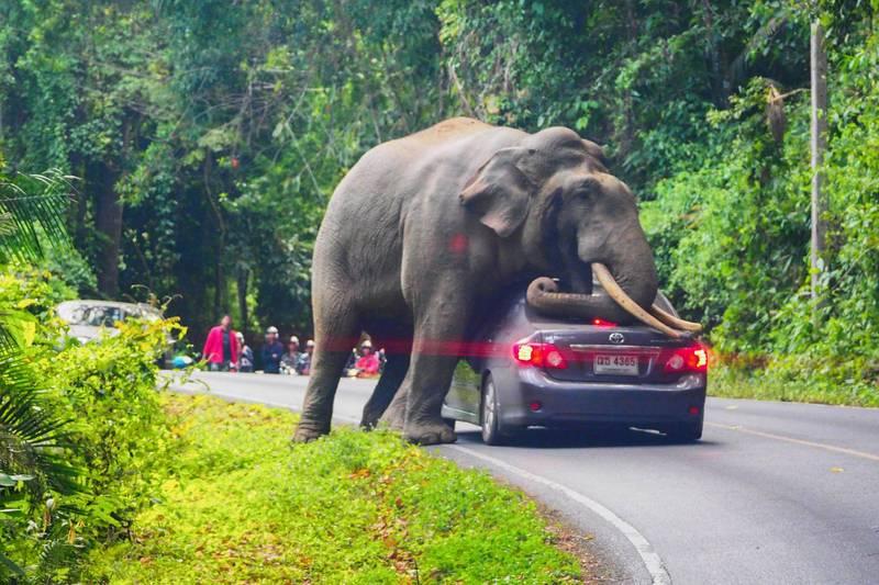 泰國拷艾國家公園一頭野生大象殺人。圖為2019年10月29日,拷艾國家公園一頭野象阻擋住遊客的汽車。(法新社)