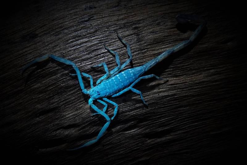 來自紐西蘭的生態攝影師James Osborne在生態社團發文指出,只要利用紫外線光照射蠍子,就會驚奇發現原本灰褐色的蠍子會瞬間散發出耀眼的寶藍色光芒。(生態攝影師James Osborne授權提供)