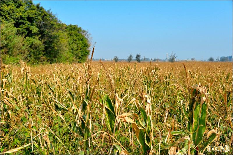 雲林沿海種植硬質玉米白化嚴重。(記者林國賢攝)