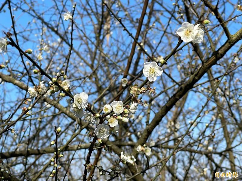 甲仙區六義山步道的梅花已陸續綻放。(記者許麗娟攝)