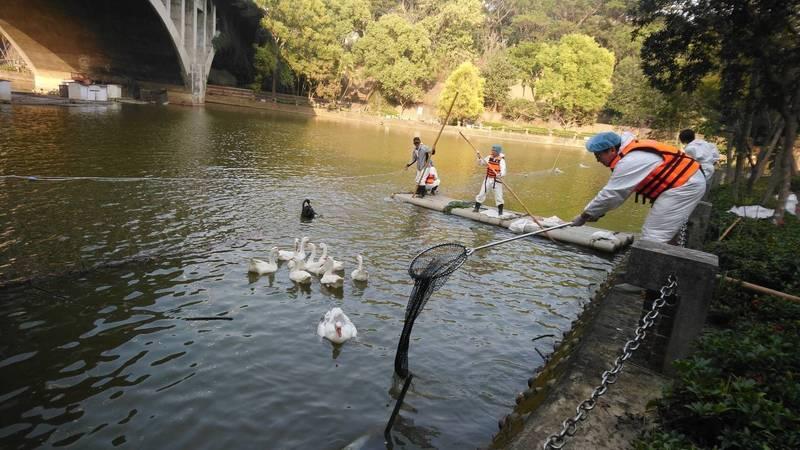中正大學寧靜湖的天鵝染禽流感,防疫人員執行撲殺作業。(記者蔡宗勳翻攝)