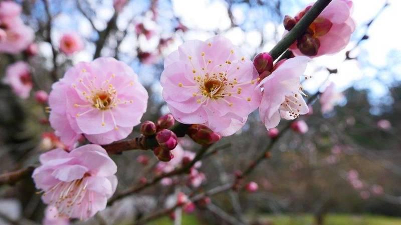 武陵農場梅花盛開廾花期將持續至1月底。(武陵農場提供)