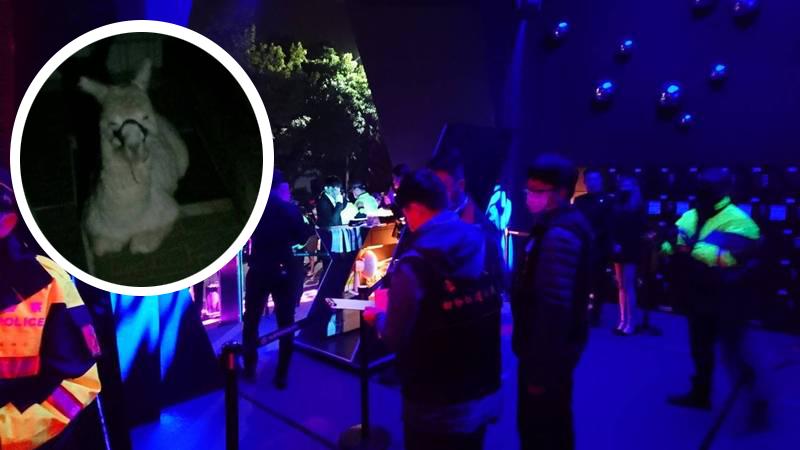 警察抵達夜店臨檢之外,中市動保處也派員尋找羊駝,只見羊駝在蹲坐在冷風中。(記者張瑞楨翻攝)
