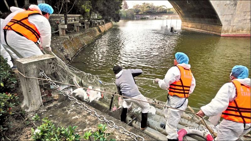 中正大學寧靜湖的天鵝染禽流感,慘遭撲殺。(記者蔡宗勳翻攝)