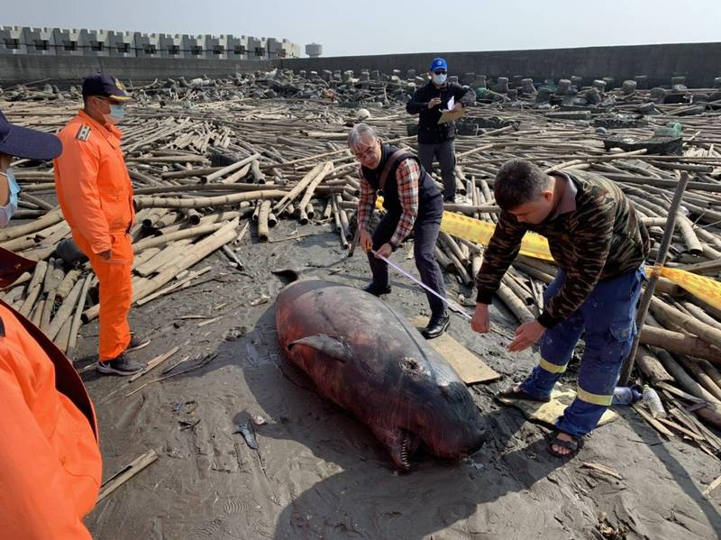 萡子寮漁港北側發現1隻死亡小抺香鯨。(記者林國賢翻攝)