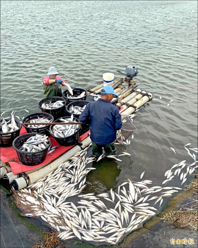 虱目魚凍弊造成文蛤池內無「清潔工」打掃青苔、藻類,影響文蛤成長,漁民還要花錢請人清藻,加重經濟負擔。(記者陳冠備攝)