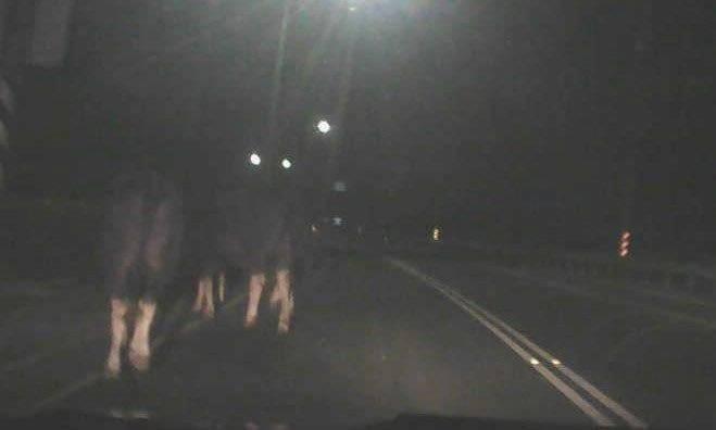 牛隻漫步台一線。(記者羅欣貞翻攝)