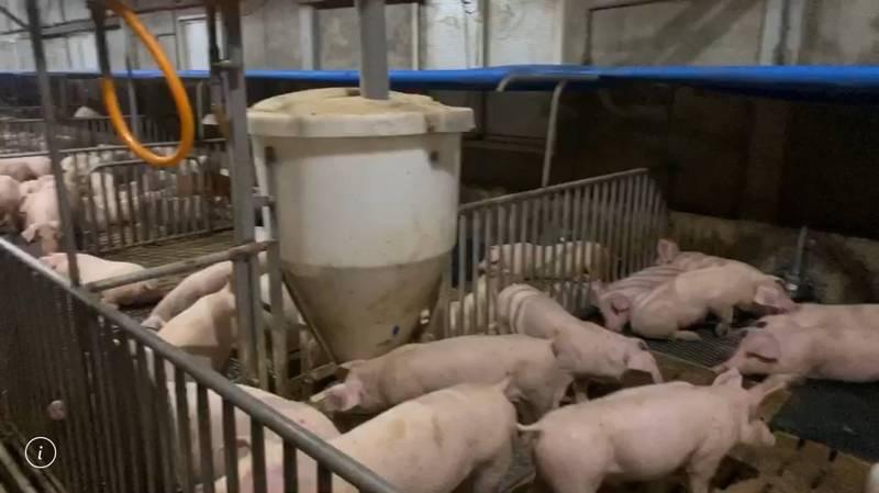 雲林縣府農業處強調,只要是廚餘都不能用來養豬,縣府已裁處7件違規,最高被罰20萬元。(記者黃淑莉翻攝)