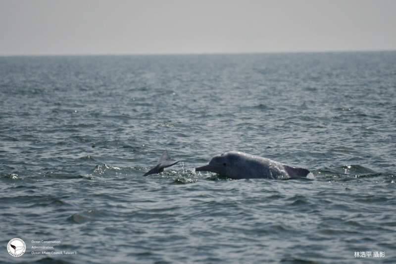 海保署統計,目前白海豚數量64隻。(海保署提供)