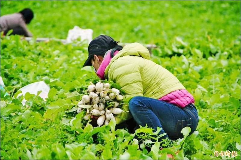 「2021客味食在好玩~關山蘿蔔季」鮮拔活動,因蘿蔔「凍長」,延至2月6日。(記者陳賢義攝)