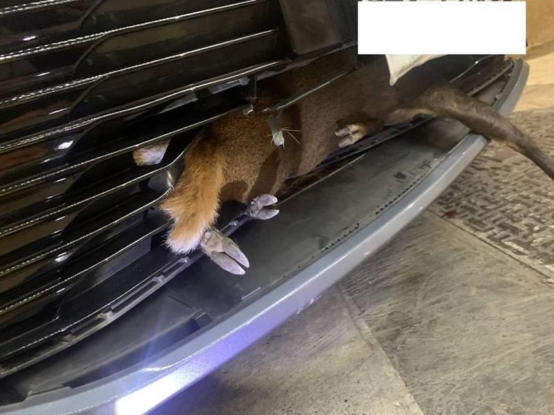 民眾在國道五堵路段撞到山羌,卡在車頭保險桿裡。(記者林欣漢翻攝)