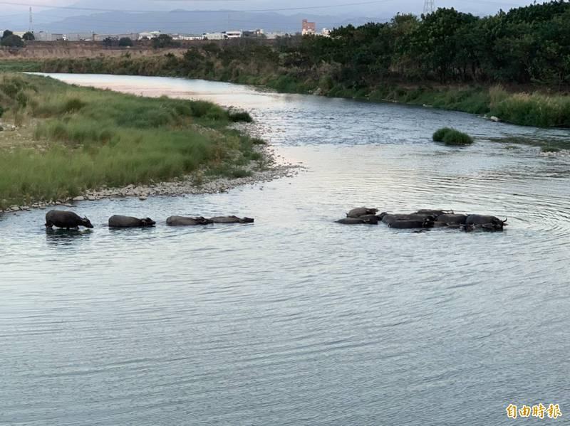 彰化與台中交界處的貓羅溪畔水牛、黃牛在草原奔跑與渡河,號稱非洲草原動物大遷徙,大批攝影愛好者影響當地車輛出入不便,政府單位將輔導飼主把群牛賣掉,禁止再放養,因此牛群大遷徙景象已成絕響。(記者湯世名攝)