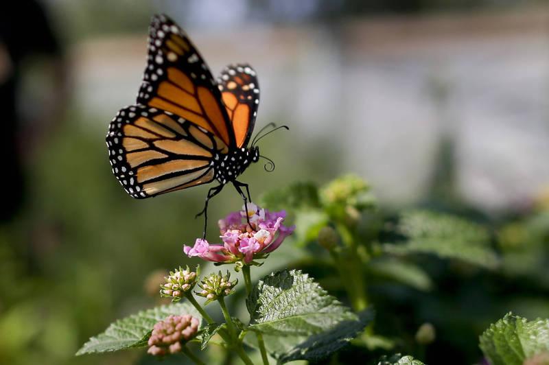 與自然界絕大部分飛行生物相比,蝴蝶搖擺不定的飛行方式非常特別,一直被認為是相當不穩定、沒效率的機制。(美聯社)