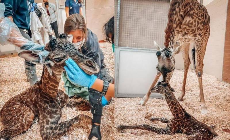 6歲的長頸鹿娜莎16日產下一隻長頸鹿寶寶,沒想到長頸鹿寶寶出生不久,意外被娜莎一腳踩斷頸骨,園方立即搶救仍回天乏術,消息傳出後讓關心長頸鹿寶寶的民眾相當難過。(圖擷取自Nashville Zoo推特)