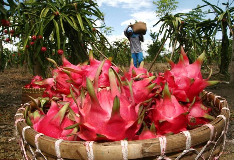 印度有城市宣布,要幫火龍果改名,因為火龍果(dragon fruit)會讓人聯想到中國。(法新社)