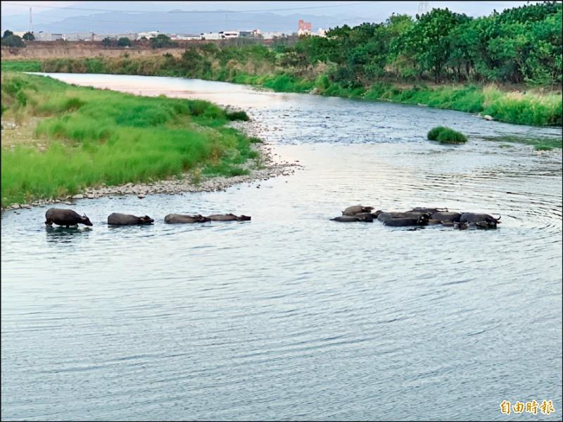 彰化與台中交界處的貓羅溪畔水牛、黃牛渡溪,號稱非洲草原動物大遷徙。 (資料照,記者湯世名攝)