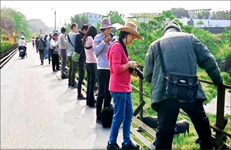 大批攝影愛好者捕捉水牛、黃牛渡溪畫面,影響居民進出。 (資料照,陳先生提供)