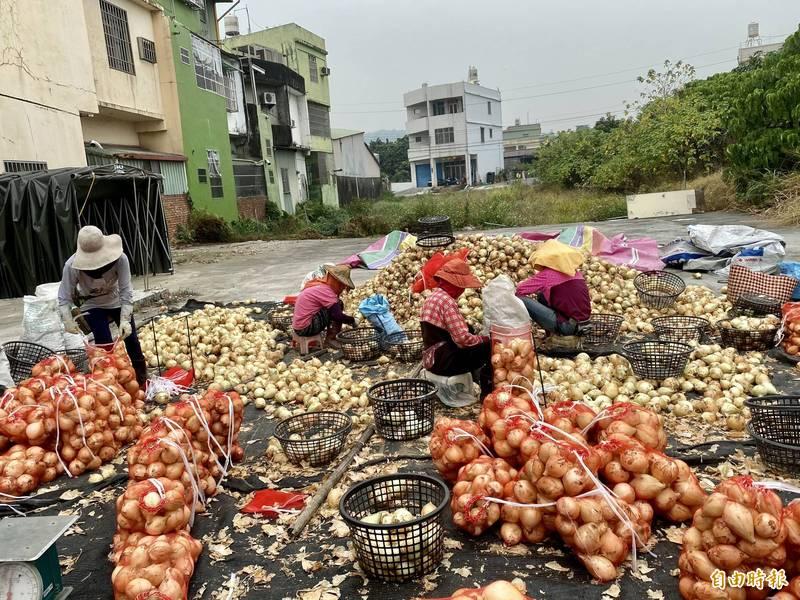 林園洋蔥進入盛產,農民忙著分裝。(記者洪臣宏攝)