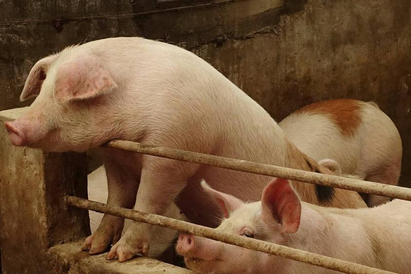 《路透》報導,中國出現2種新的非洲豬瘟病毒株,突變很可能是由非法的山寨疫苗所引起。(路透資料照)