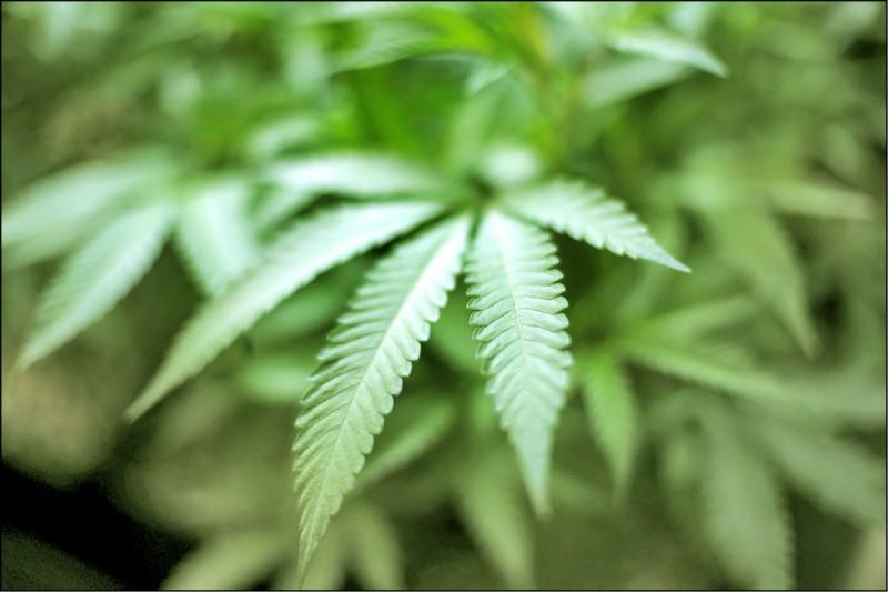 泰國2017年成為核准大麻醫療用途的第一個東南亞國家。圖為美國加州加迪納市一座室內農場種植的大麻。(美聯社檔案照)