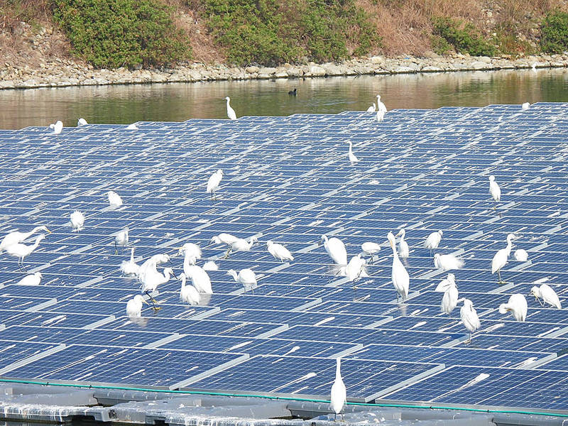 Egrets perch on solar panels at a solar farm in Chiayi County's Budai Township in an undated photograph. Screen grab from Budai Salt Pan Wetlands' Facebook page
