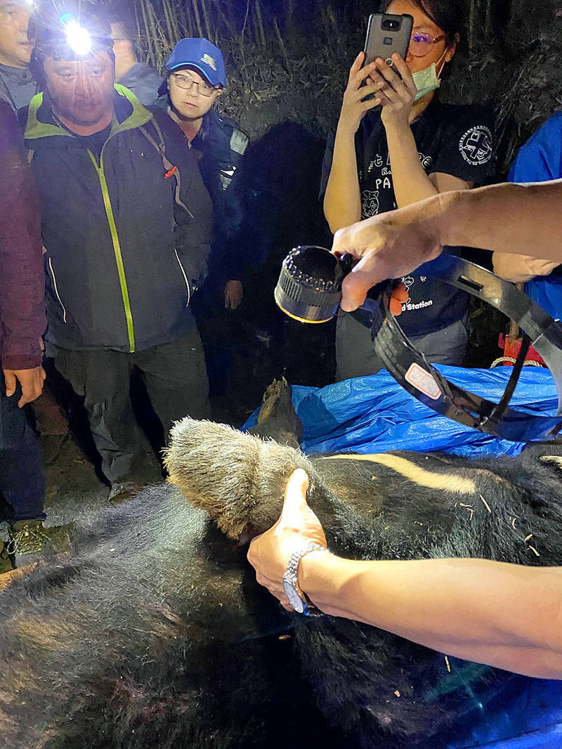 People examine a Formosan black bear's leg, which shows a scar left by a trapping incident, in an undated photograph. Photo courtesy of Dongshih Forest District Office