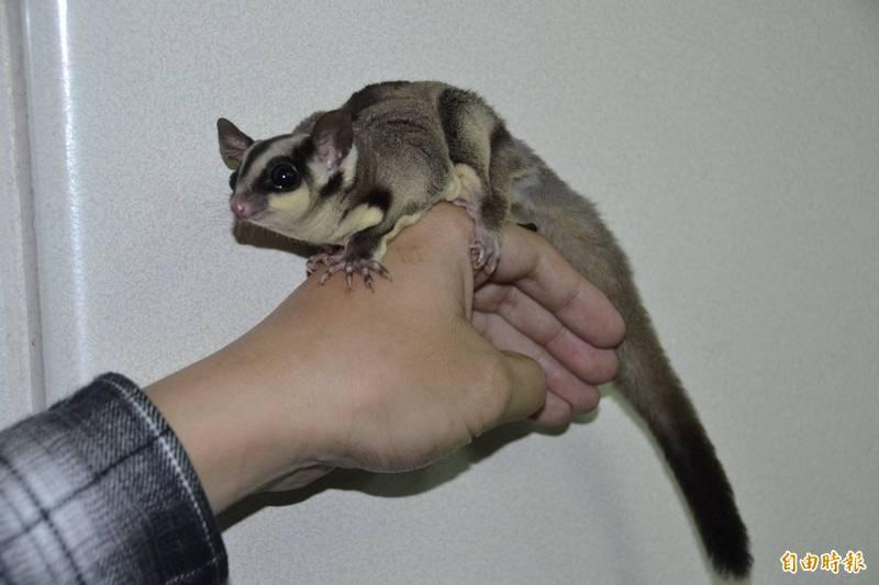 寵物鼠爬上考生脖子大鬧學測事件 「肇事者」原來是蜜袋鼯