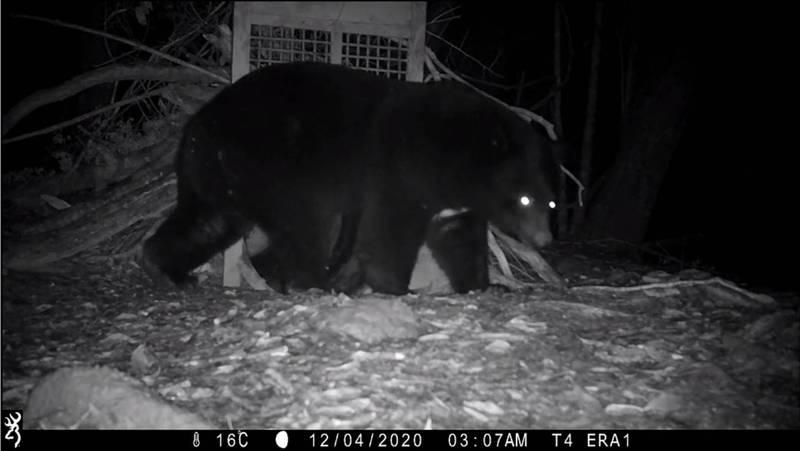 玉山國家公園塔塔加園區台灣黑熊頻出沒,自動相機除在夜間拍到公熊活動,也在白天拍到母熊帶著二隻小熊覓食。(玉管處提供)