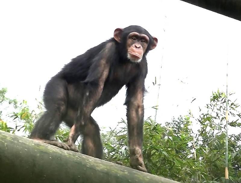 從小就活潑好動的黑猩猩小朋友「娃智」已經5歲了。(台北市立動物園提供)
