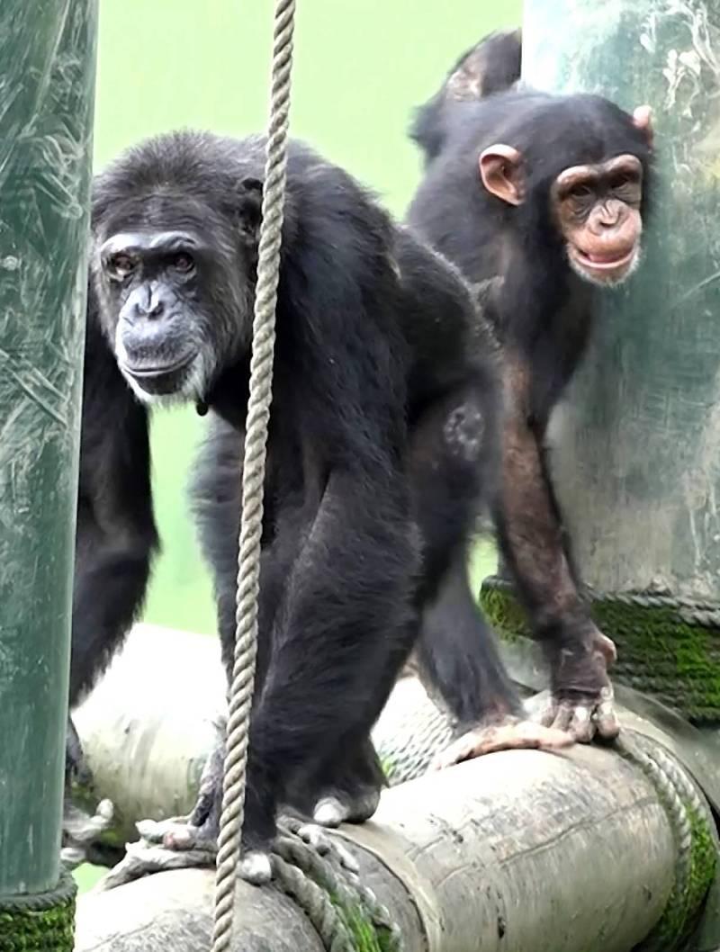 黑猩猩「娃智」(後)成功混群,當老大(前)跟班明哲保身。(台北市立動物園提供)