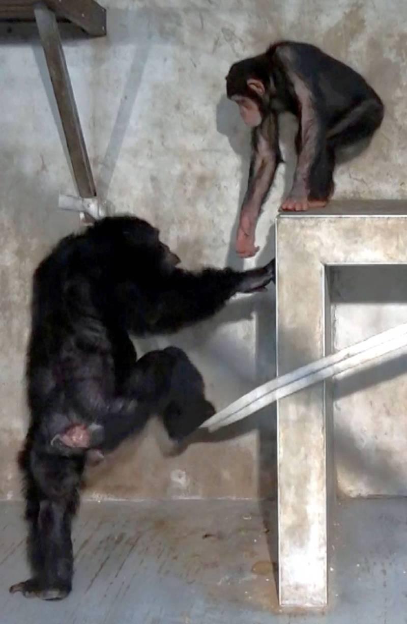 黑猩猩「娃智」:來,我拉你一把! (台北市立動物園提供)