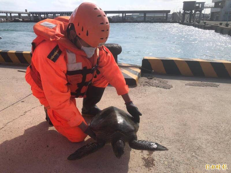 由於海龜為珍貴保育類,澎湖縣政府農漁局疾呼全民保育。(記者劉禹慶攝)