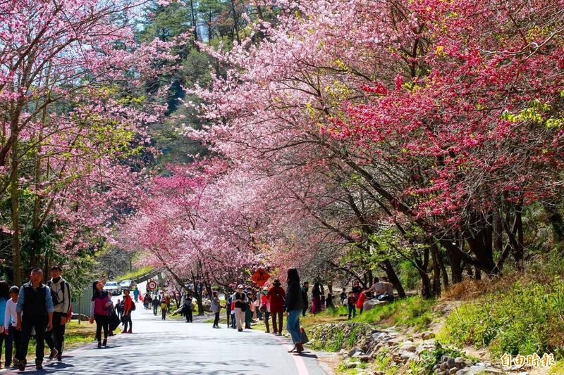 過年搭台灣好行到中部賞櫻,可享半價優惠。(記者蘇金鳳攝)