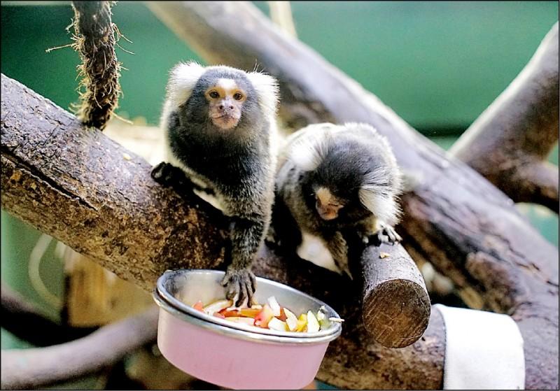 台北市立動物園兩隻狨寶寶「耶加」和「雪菲」,上月中已入住兒童動物區。(圖:台北市立動物園提供)