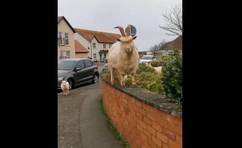 山羊在圍牆上漫步。(圖翻攝自reddit, u/TwmffatMawr)