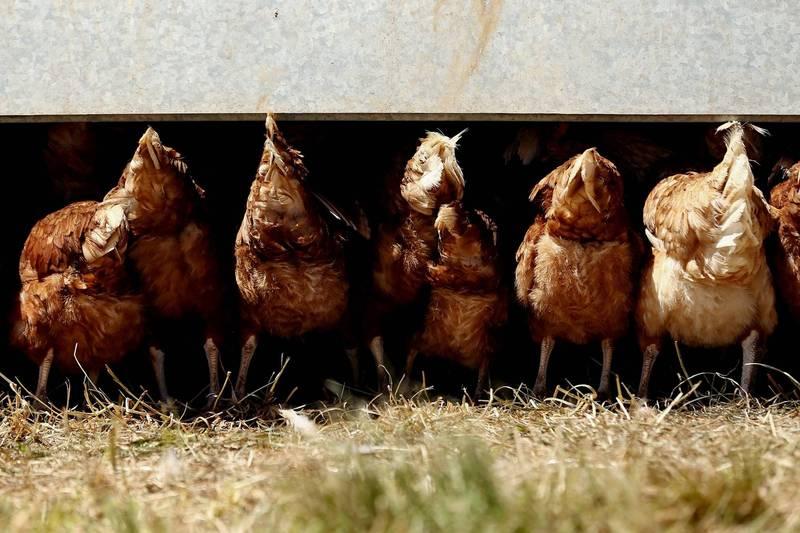 英國一位在自家後院放養雞鴨,熬過漫漫封城期的婦人某天醒來,發現寵物竟被偷了。示意圖,(彭博)