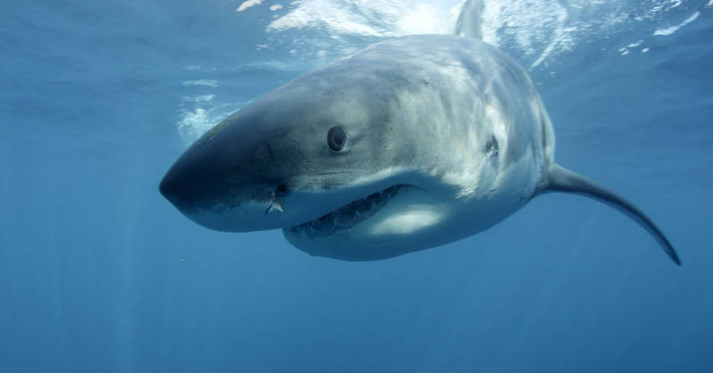 印第安納波利斯號沉沒事件有多達900人,在海中遭到鯊魚襲擊,僅300多人生還。(美聯社)