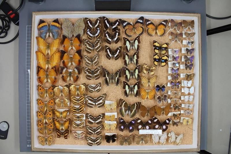 吉田信弘所捐贈的蝴蝶展翅標本。(記者蔡淑媛翻攝)