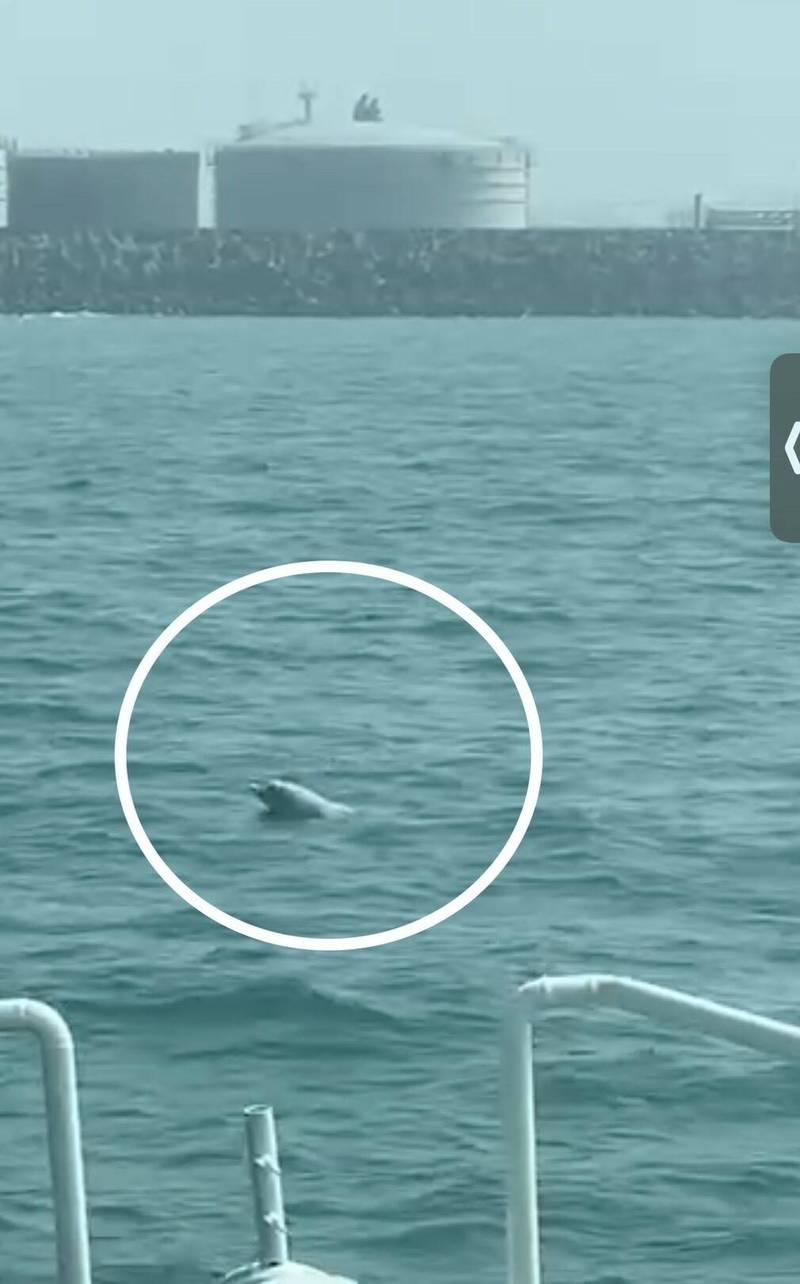 白海豚在台中港外海現蹤。(記者張軒哲翻攝)
