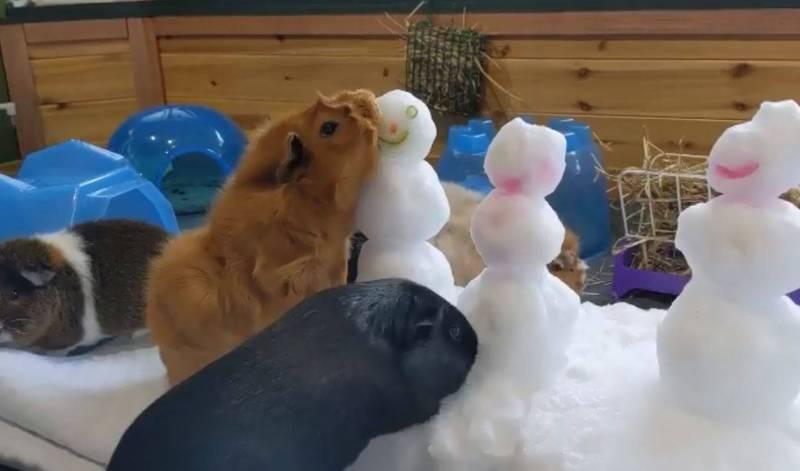 動物園為增添樂趣,將食物藏在雪人內,天竺鼠們毫不留情的推倒它們。(圖取自smithsonianzoo IG)